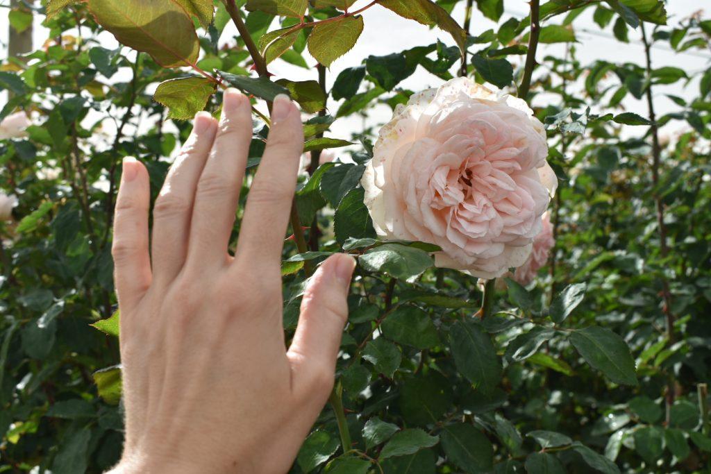 roses-adenes-flowers