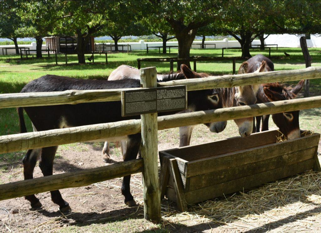 donkeys-babylonstoren
