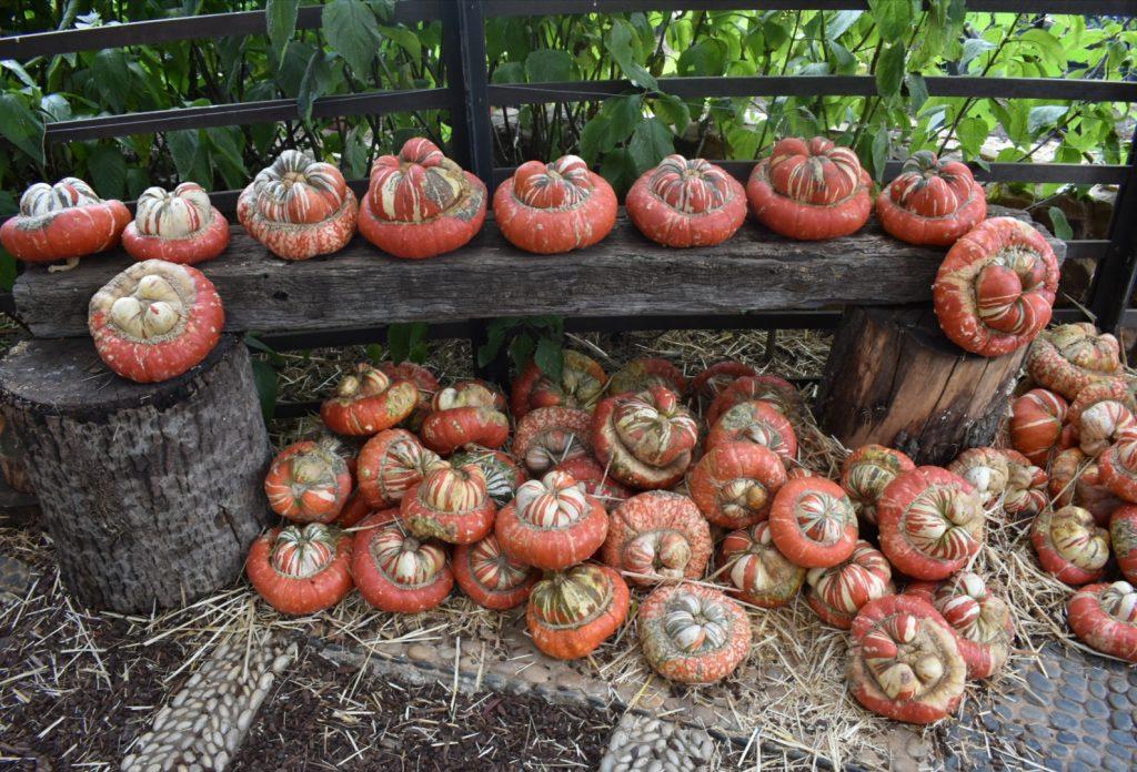 pumpkins-babylonstoren