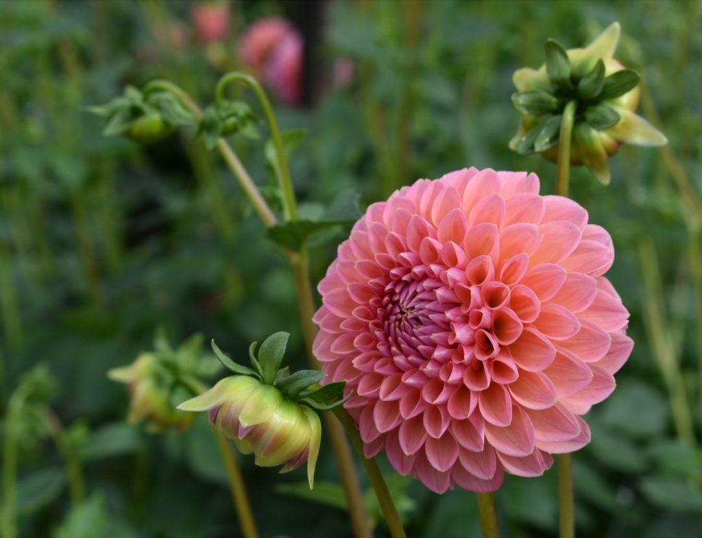 dahlia-pink-bloom