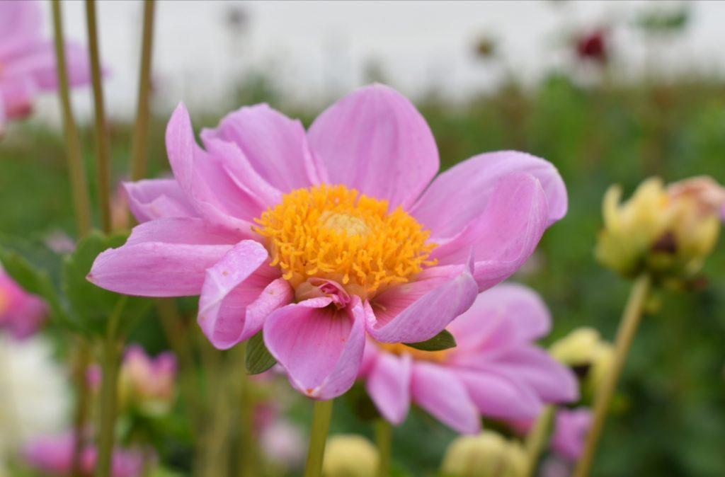cosmos-flower