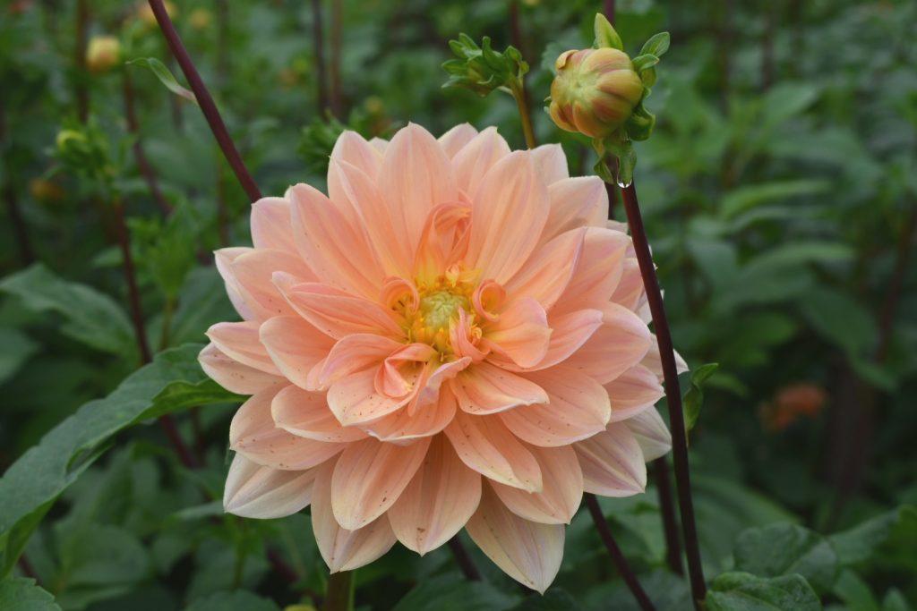dahlia-peach