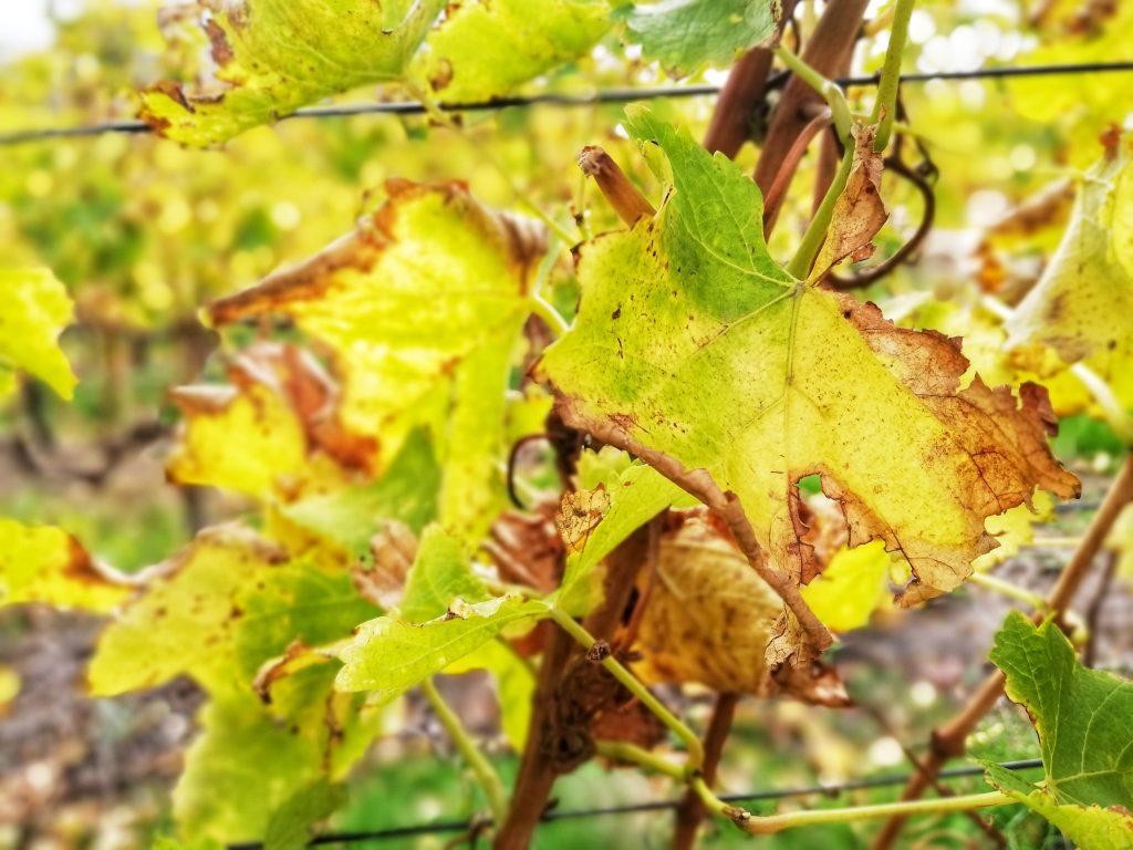 autumn-vineyard-leaves