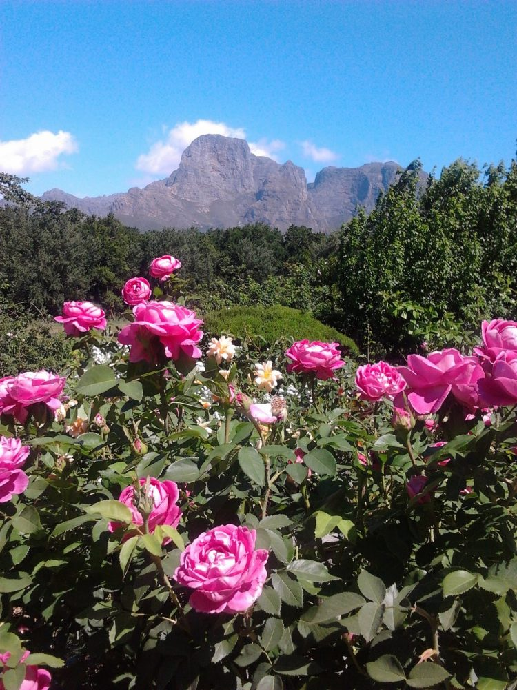 boschendal-manor-house-rose-garden