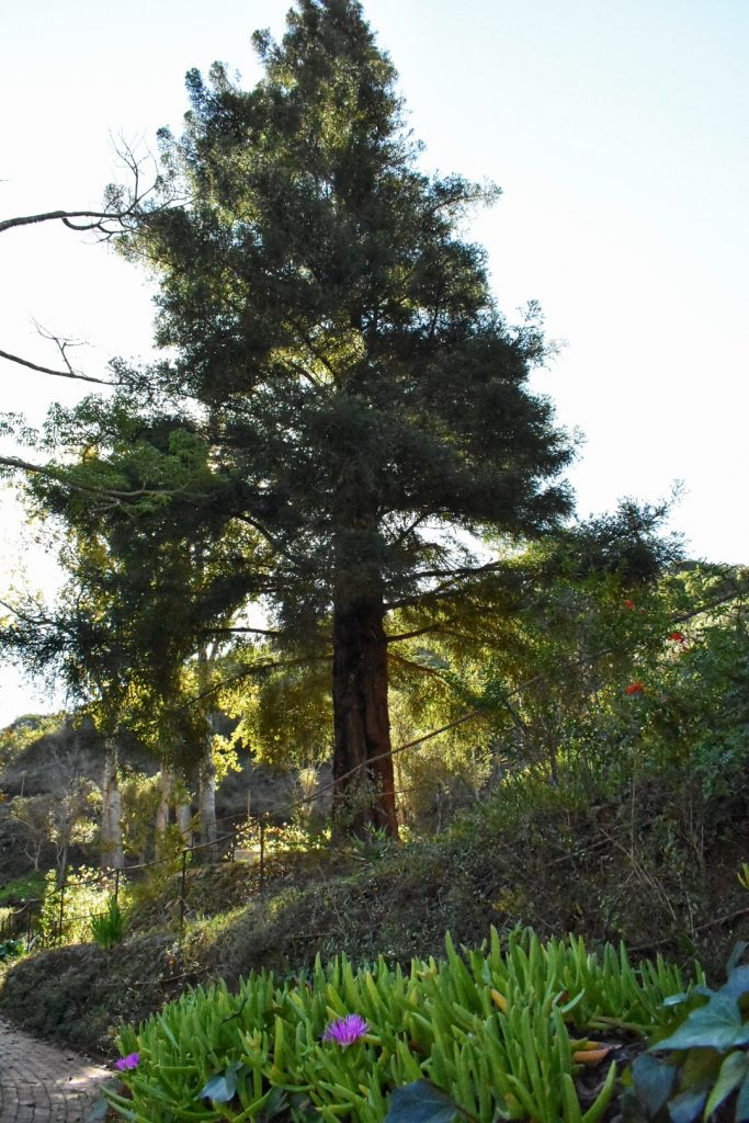 old-nectar-redwood-tree