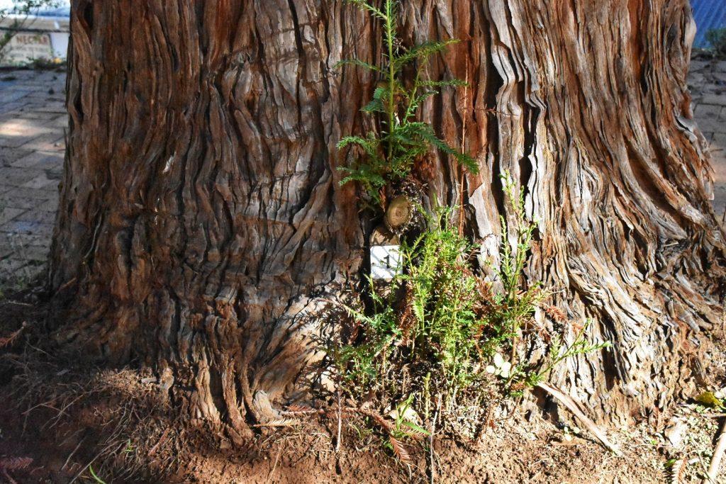 redwood-tree