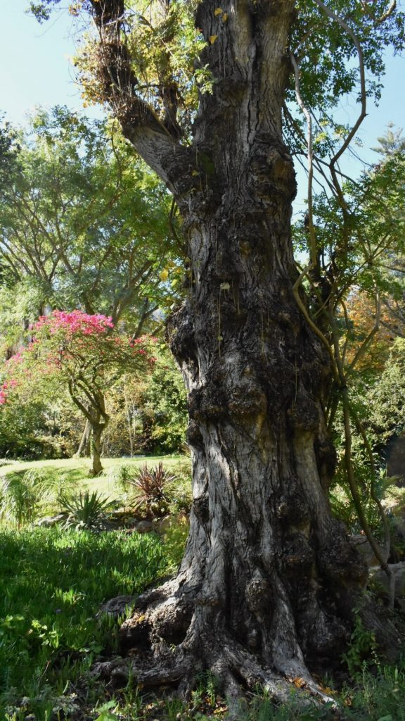 tree-stellenbosch-garden
