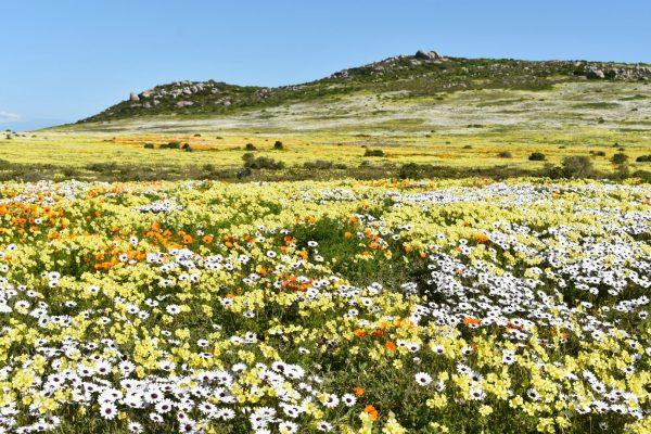 west-coast-national-park-flower-season