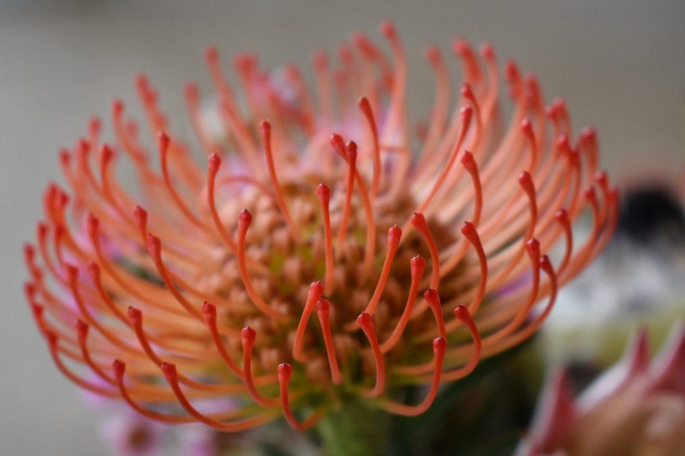 pincushion-protea-fabulous-fynbos-workshop