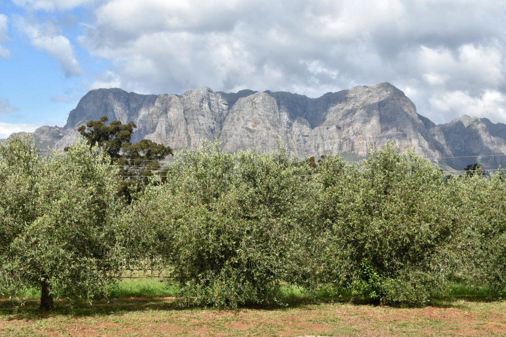 tokara-olive-groves