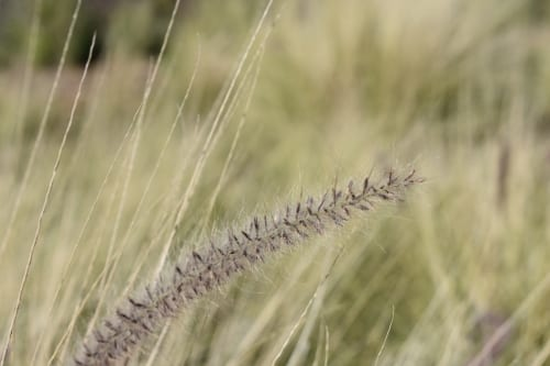 wild-grass-clarence-drive