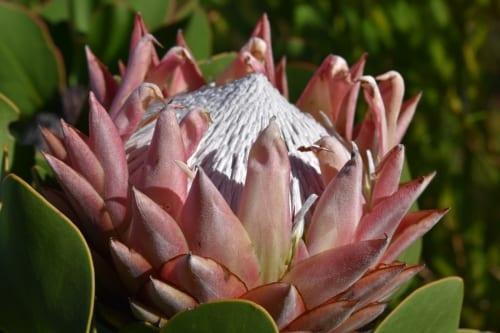 protea-kogelberg-nature-reserve